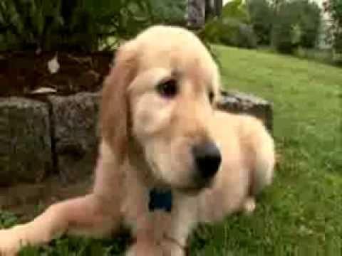 狗狗入門班:黃金獵犬