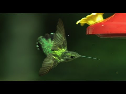 「蜂鳥如何飛行?」- Hummingbird Aerodynamics by Smarter Every Day