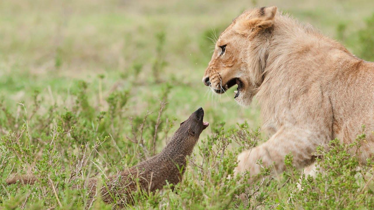 瘋狂小貓鼬大戰獅子王