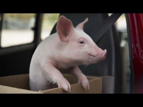 溫馨電信廣告--小豬蘇蘇
