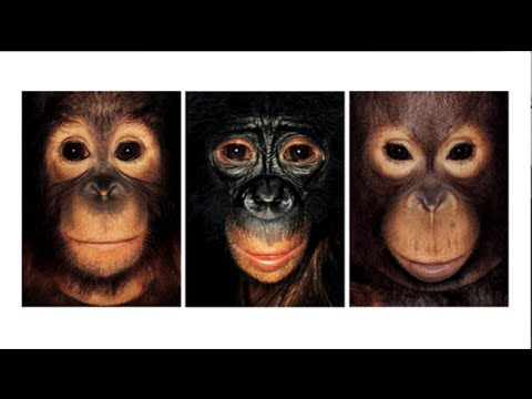 「Steven Wise:有情感和想法的猩猩,牠們應該擁有權利」- Chimps Have Feelings and Thoughts. They Should Also Have Rights