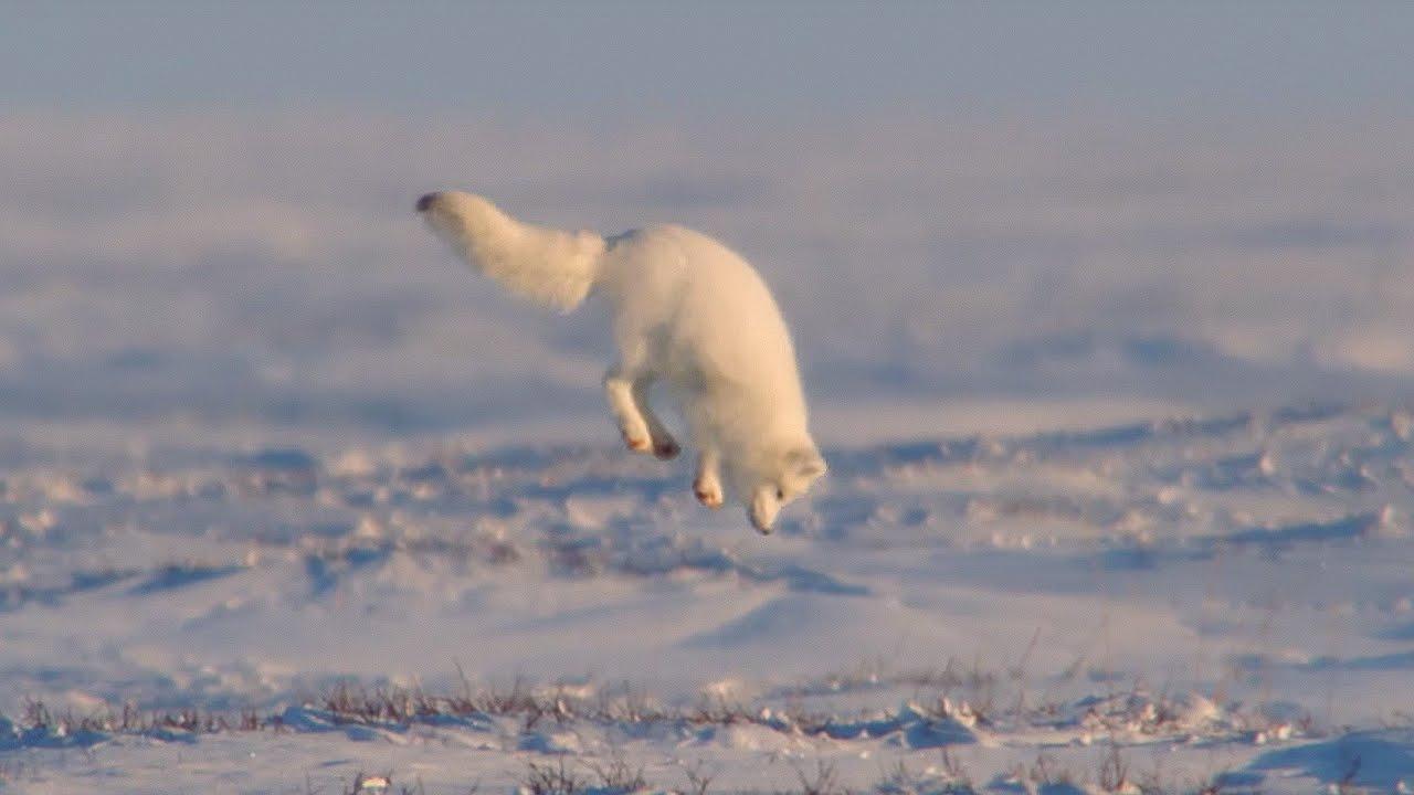 「雪地中的超萌覓食者--倒栽蔥小狐狸」- Young Fox Hunting In The Snow
