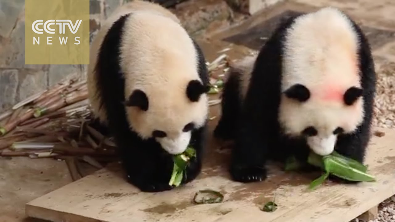 "「軟萌熊貓吃粽子慶端午!」- Pandas Get a Taste of ""Zongzi"" on Chinese Dragon Boat Festival"