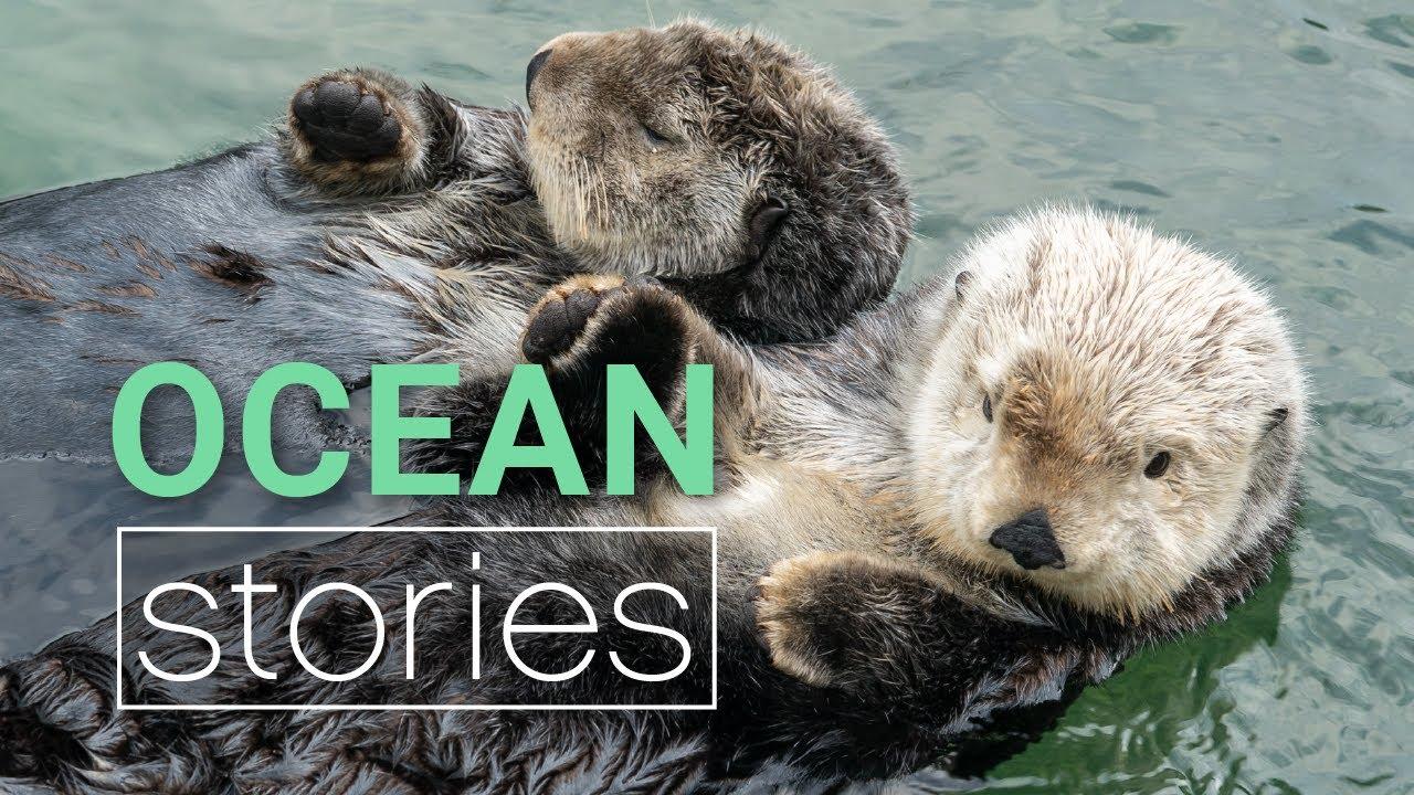 「海獺為什麼會牽手手?可愛海獺行為大解密」- Decoding Cute Sea Otter Behavior