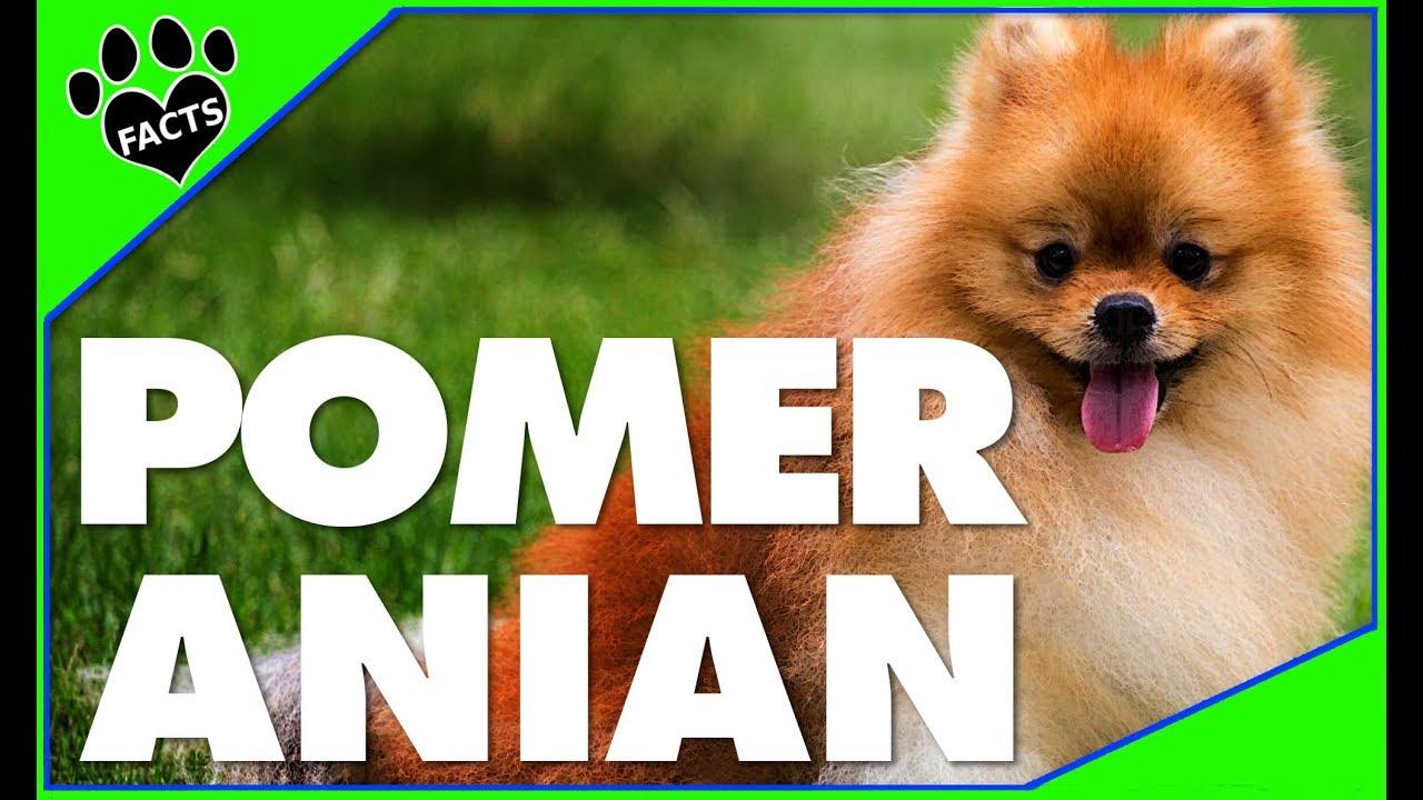 認識最可愛的犬種--博美犬!