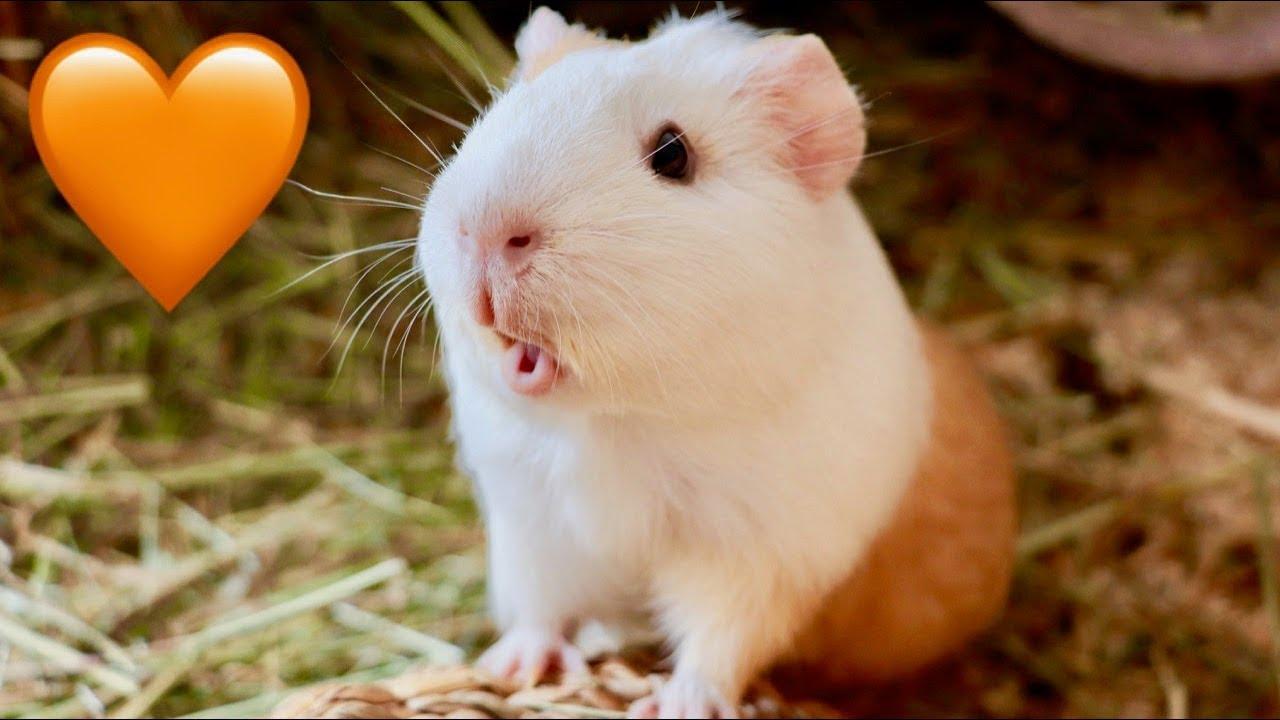 六個天竺鼠愛你的跡象!